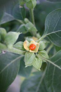 Ashwagandha Young Plants & Seeds