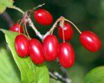 Cornus berries