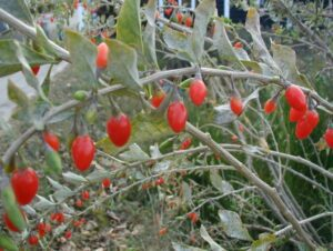 Goji Berry Young Plants & Seeds