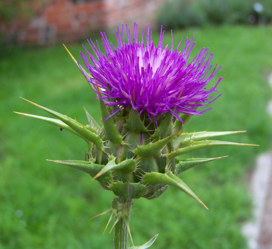 How much milk thistle