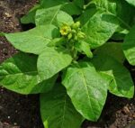 Mapacho/Aztec Tobacco Young Plants & Seeds