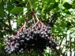 Elderberry Young Trees & Seeds