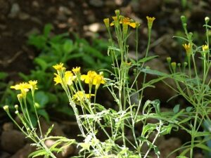 Tagetes lucida / Mexican Tarragon Young Plants & Seeds