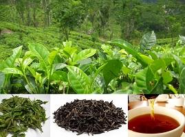 Green / Black Tea