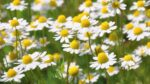 Chamomile Young Plants & Seeds