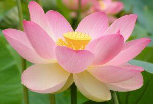 Sacred Lotus Extract