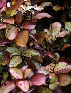 Horopito Seeds