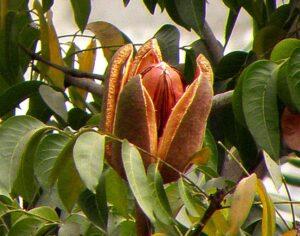 Sky Fruit Extract & Raw Powder
